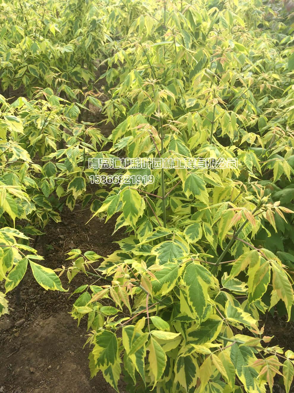 金边叶复叶槭_青岛汇枫园林有限公司
