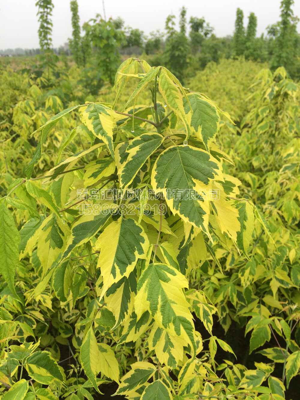 金边叶复叶槭