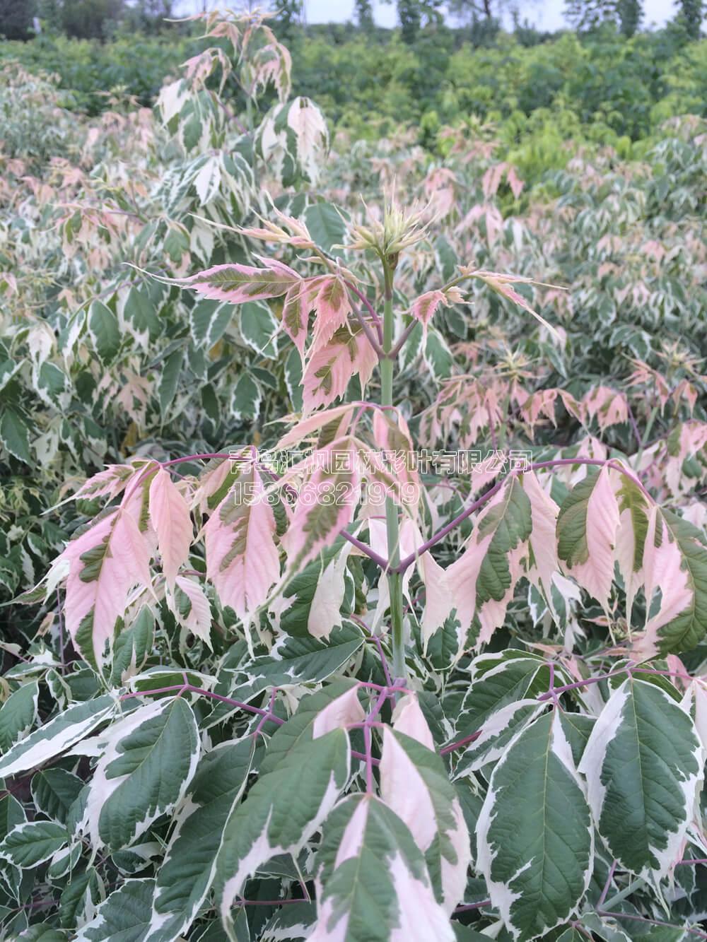 粉叶复叶槭