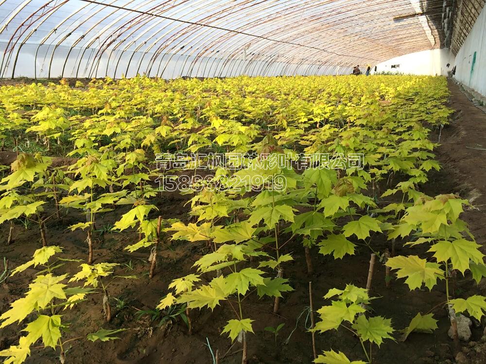挪威槭黄金枫