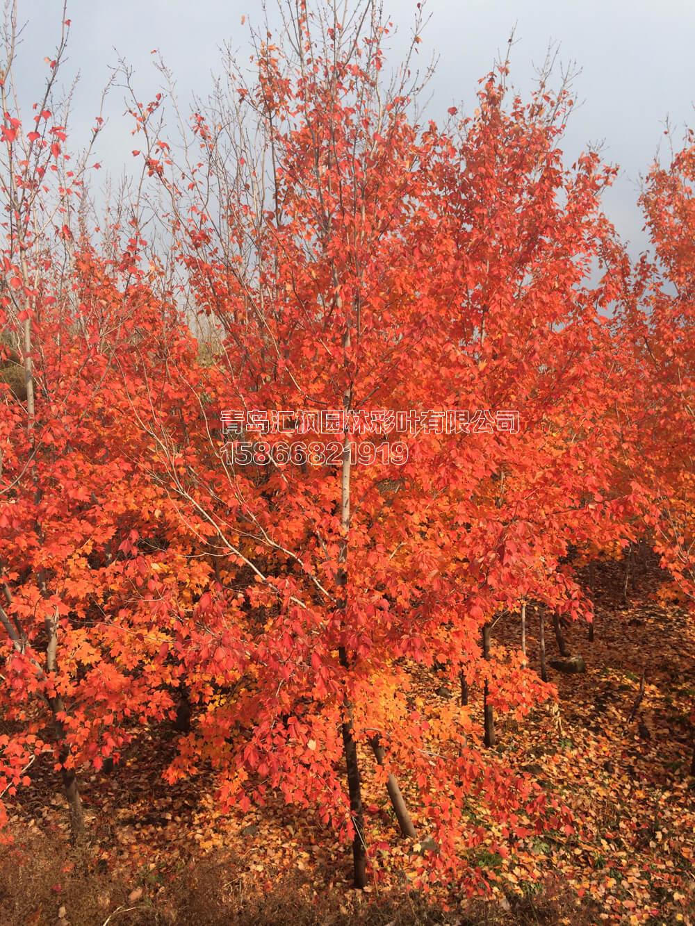 概况介绍 美国红枫夕阳红,是美国改良红枫系列品种中表现较好的品种之一,秋季叶色大红带橘红,酷似晴朗天气下落日晚霞的颜色。该品种变色一致性好,变色时间略晚于改良红枫的其它品种,红叶挂枝时间长。金红枫适应性强,耐寒耐旱耐盐碱,生长速度较快,适宜做城市绿化替代更新传 统绿化品种的优选树种。 落叶大乔木,高可达30米,冠幅10米,叶掌状3-5裂,叶长10厘米,叶表面亮绿色,叶背泛白,部分有白色绒毛。春季新叶泛红,与成串的红色花朵相映成趣;夏季枝叶成荫;秋季叶片为绚丽的红色,持续时间长。树型直