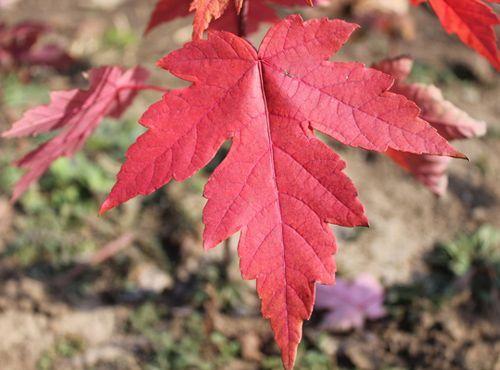 生长中的美国红枫小苗