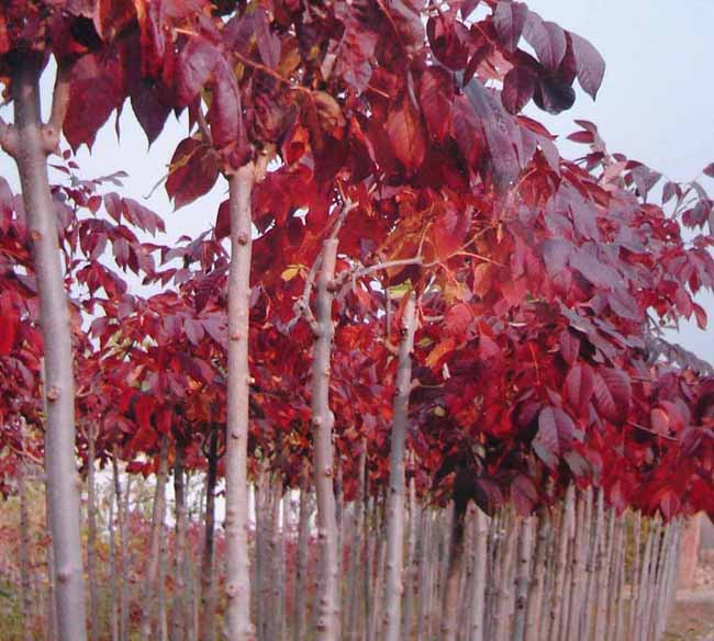 秋叶紫色,是优良的行道树和遮荫树;另外红叶白蜡可以制作出优美的造型