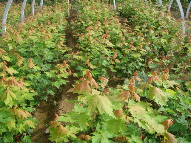 美国红枫种植大棚_青岛汇枫园林有限公司