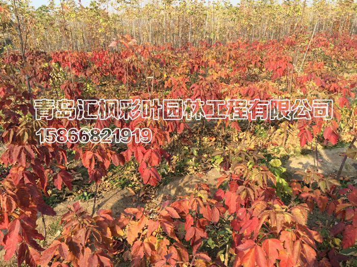 红叶复叶槭_青岛汇枫园林有限公司