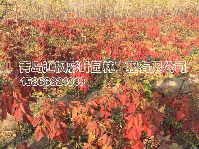 红叶复叶槭繁殖方法 如何繁殖