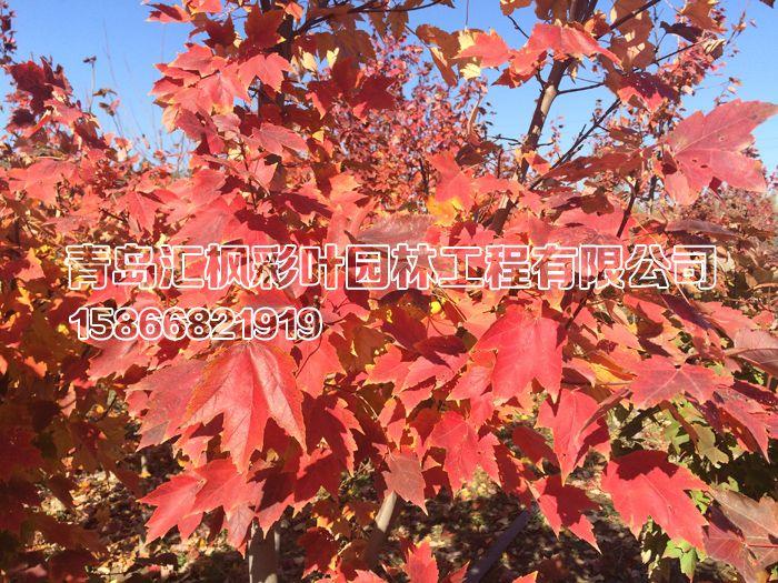 夕阳红枫_青岛汇枫园林有限公司