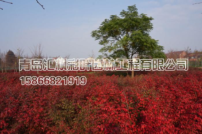 火焰卫矛_新闻中心_青岛汇枫园林有限公司